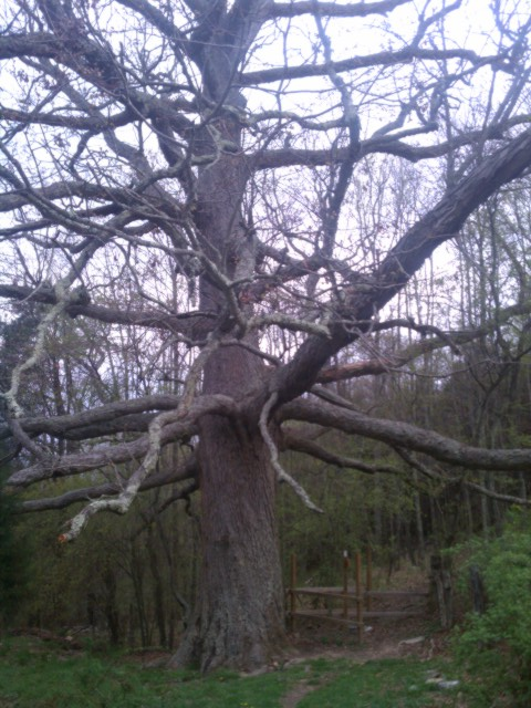 Kieffer Oak Tree 2