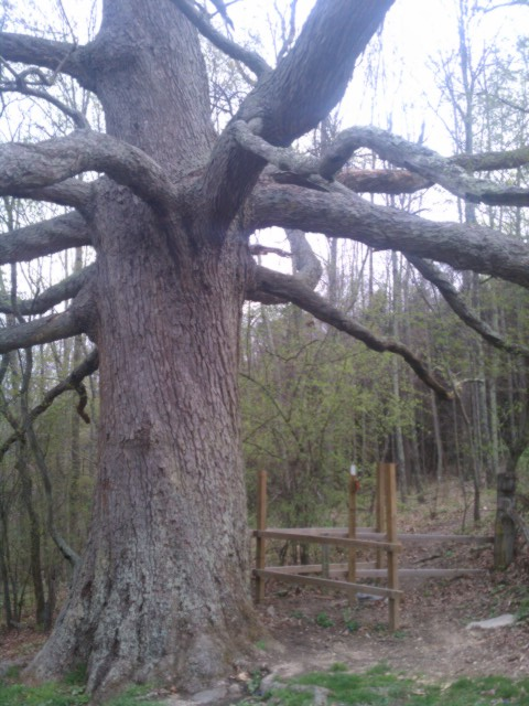 Kieffer Oak Tree 3