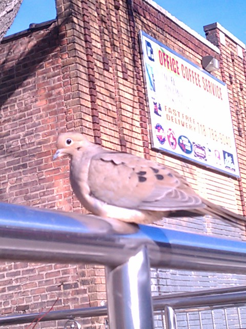 even the mourning doves of nyc got guts