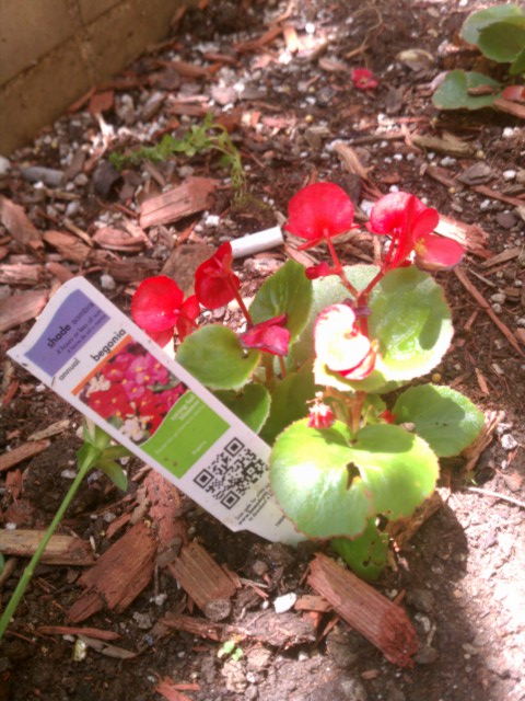 begonia with information card 3