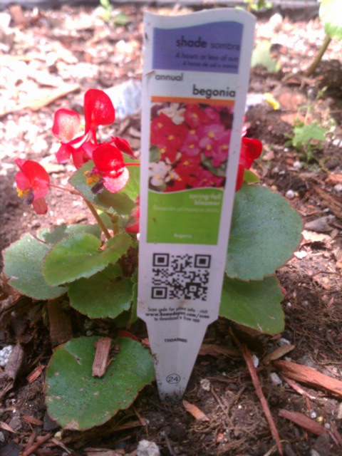 begonia with information card 6