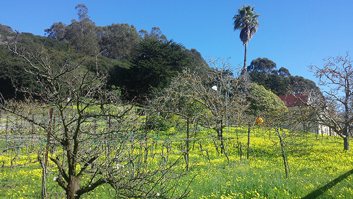 vines and clovers in el cerrito, late winter